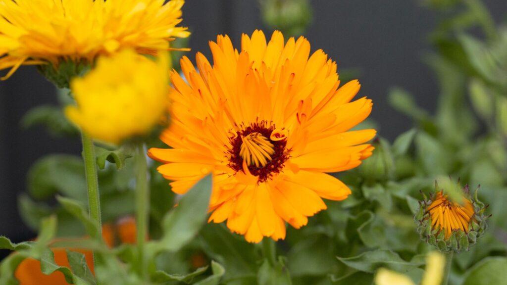 Marigolds bloom