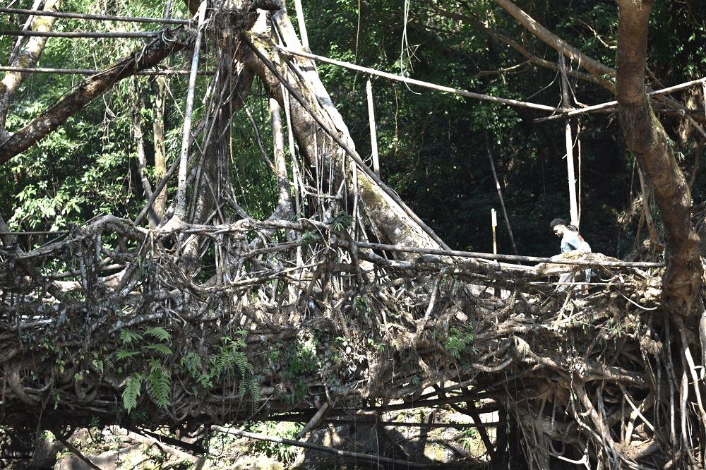 Living Root Bridge of Meghalaya